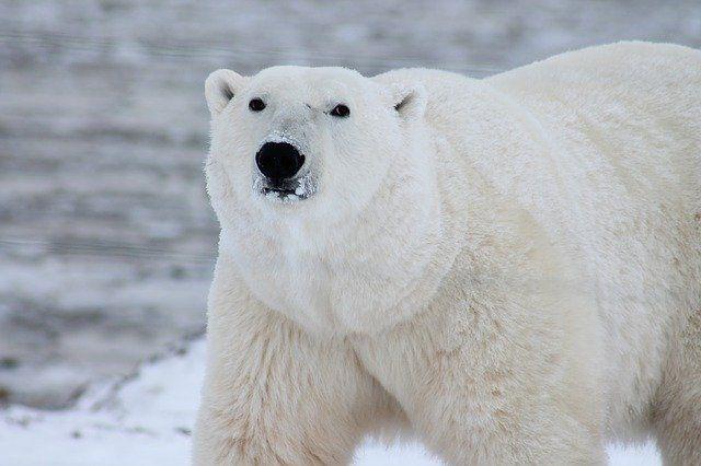 umer-samyj-vozrastnoj-v-severnoj-amerike-belyj-medved-c0c438b