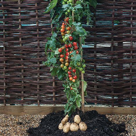 chto-takoe-pomidofel-d2e1554
